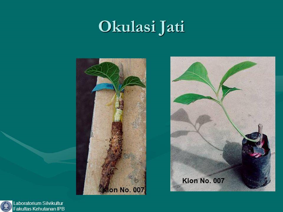Okulasi Jati Laboratorium Silvikultur Fakultas Kehutanan IPB Klon No. 007