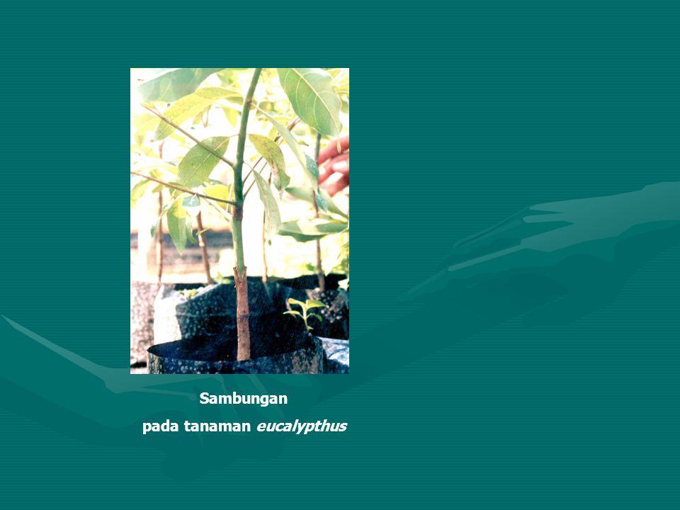 Sambungan pada tanaman eucalypthus