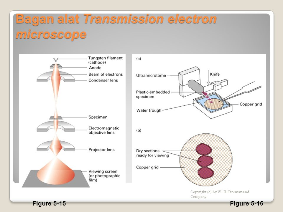 Bagan alat Transmission electron microscope Copyright (c) by W. H. Freeman and Company Figure 5-16Figure 5-15