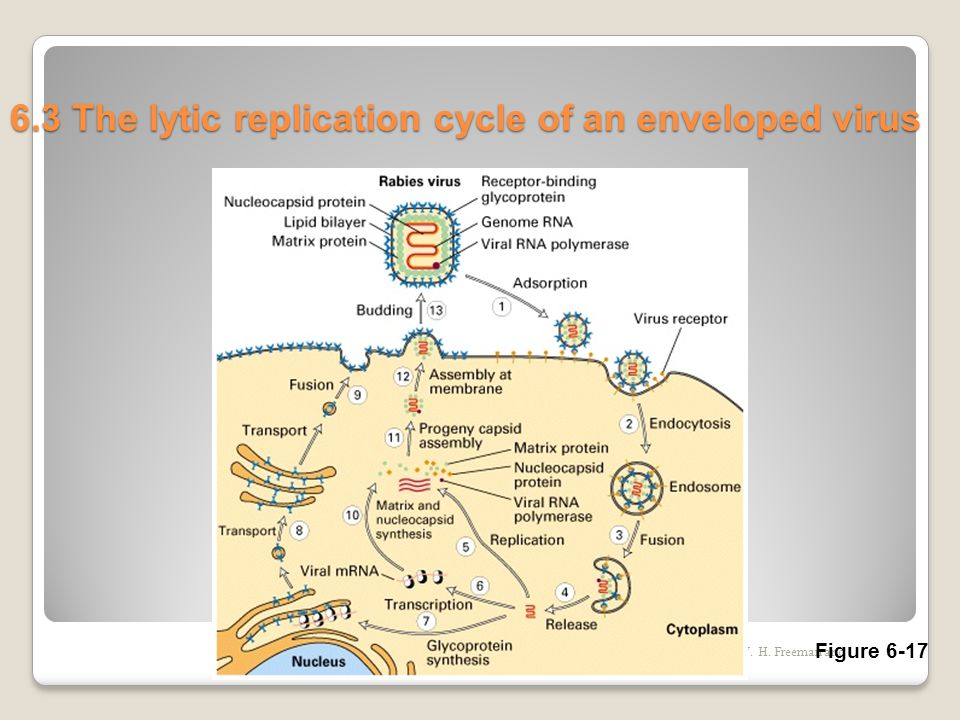 Copyright (c) by W. H. Freeman and Company 6.3 The lytic replication cycle of an enveloped virus Figure 6-17