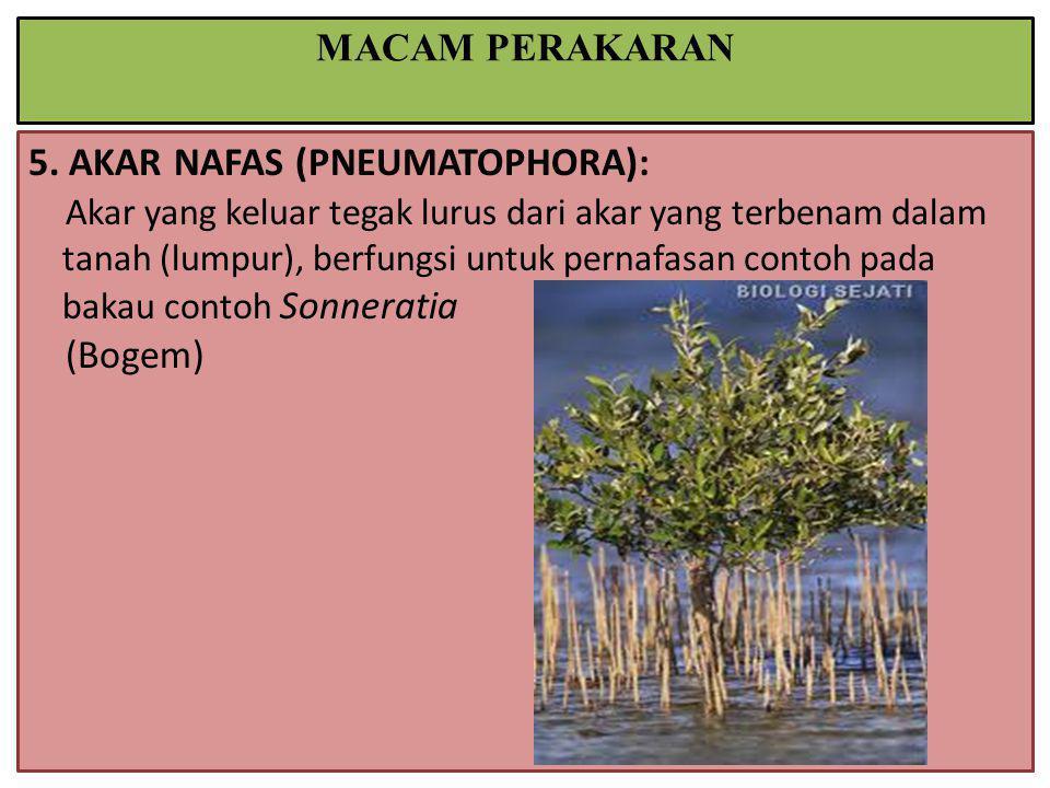 5. AKAR NAFAS (PNEUMATOPHORA): Akar yang keluar tegak lurus dari akar yang terbenam dalam tanah (lumpur), berfungsi untuk pernafasan contoh pada bakau