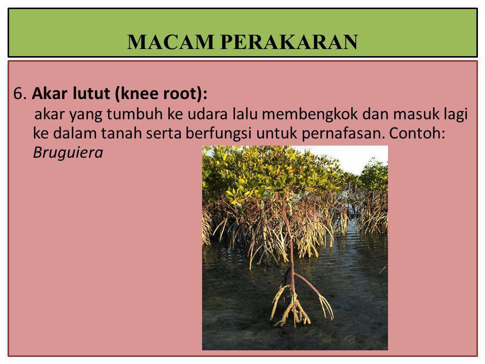 6. Akar lutut (knee root): akar yang tumbuh ke udara lalu membengkok dan masuk lagi ke dalam tanah serta berfungsi untuk pernafasan. Contoh: Bruguiera