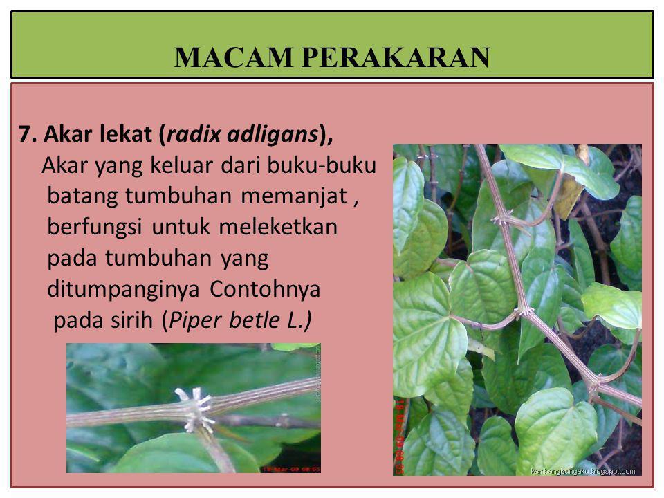 7. Akar lekat (radix adligans), Akar yang keluar dari buku-buku batang tumbuhan memanjat, berfungsi untuk meleketkan pada tumbuhan yang ditumpanginya