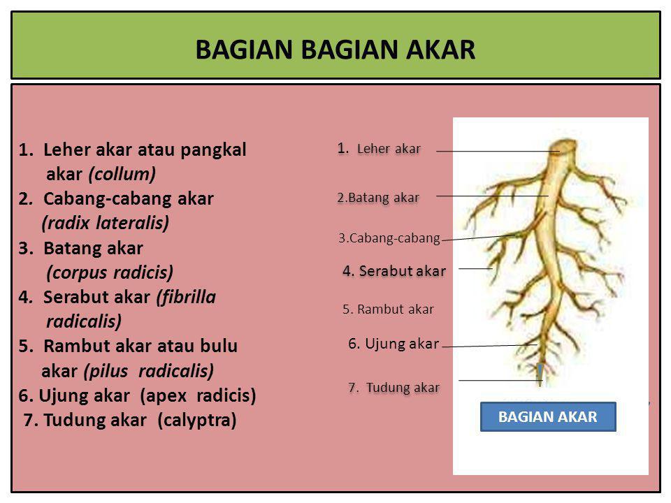 1. Leher akar atau pangkal akar (collum) 2. Cabang-cabang akar (radix lateralis) 3. Batang akar (corpus radicis) 4. Serabut akar (fibrilla radicalis)