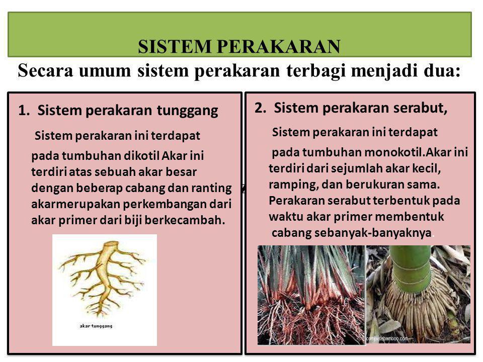 SISTEM PERAKARAN Secara umum sistem perakaran terbagi menjadi dua: zz 1. Sistem perakaran tunggang Sistem perakaran ini terdapat pada tumbuhan dikotil