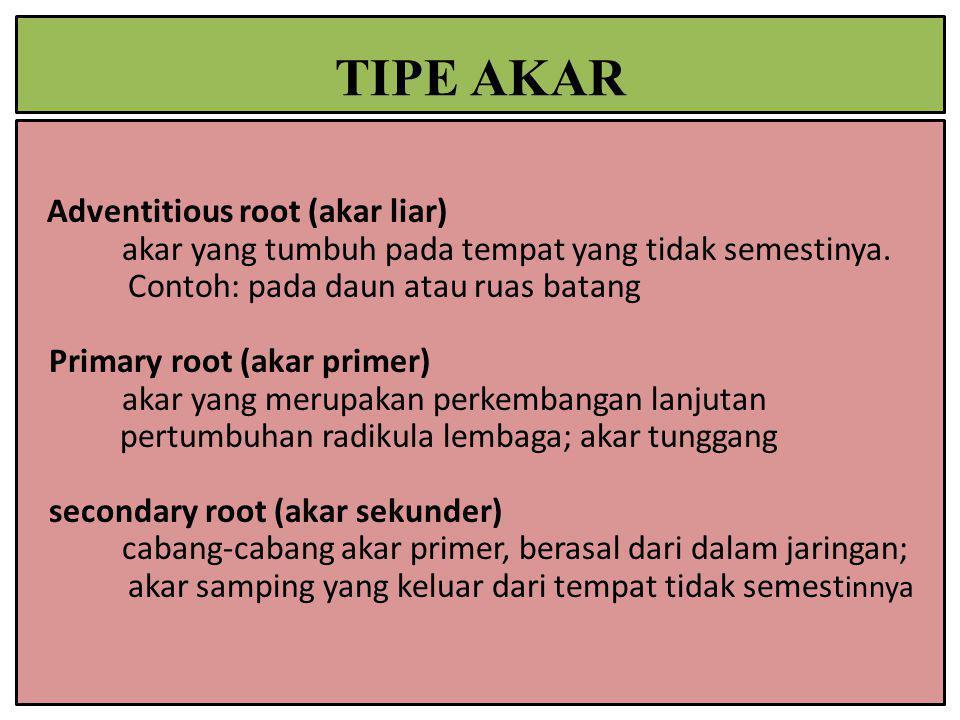 Adventitious root (akar liar) akar yang tumbuh pada tempat yang tidak semestinya. Contoh: pada daun atau ruas batang Primary root (akar primer) akar y