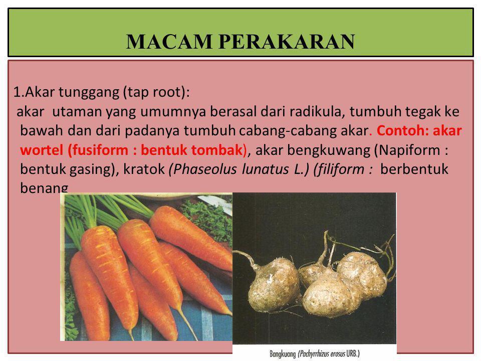 1.Akar tunggang (tap root): akar utaman yang umumnya berasal dari radikula, tumbuh tegak ke bawah dan dari padanya tumbuh cabang-cabang akar.