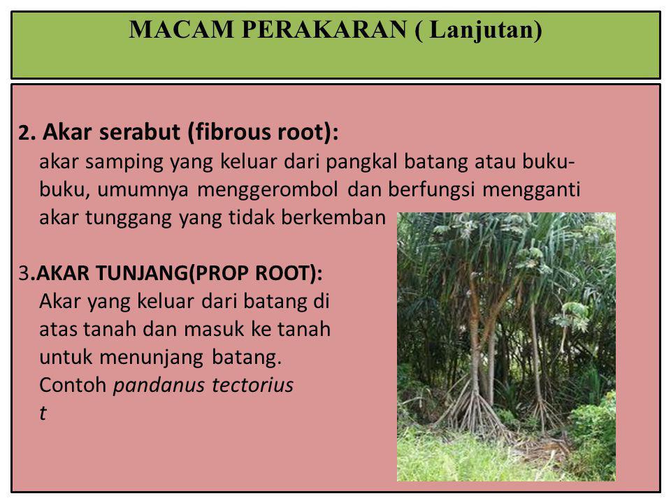 2. Akar serabut (fibrous root): akar samping yang keluar dari pangkal batang atau buku- buku, umumnya menggerombol dan berfungsi mengganti akar tungga