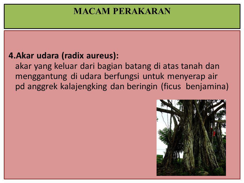 4.Akar udara (radix aureus): akar yang keluar dari bagian batang di atas tanah dan menggantung di udara berfungsi untuk menyerap air pd anggrek kalajengking dan beringin (ficus benjamina) MACAM PERAKARAN