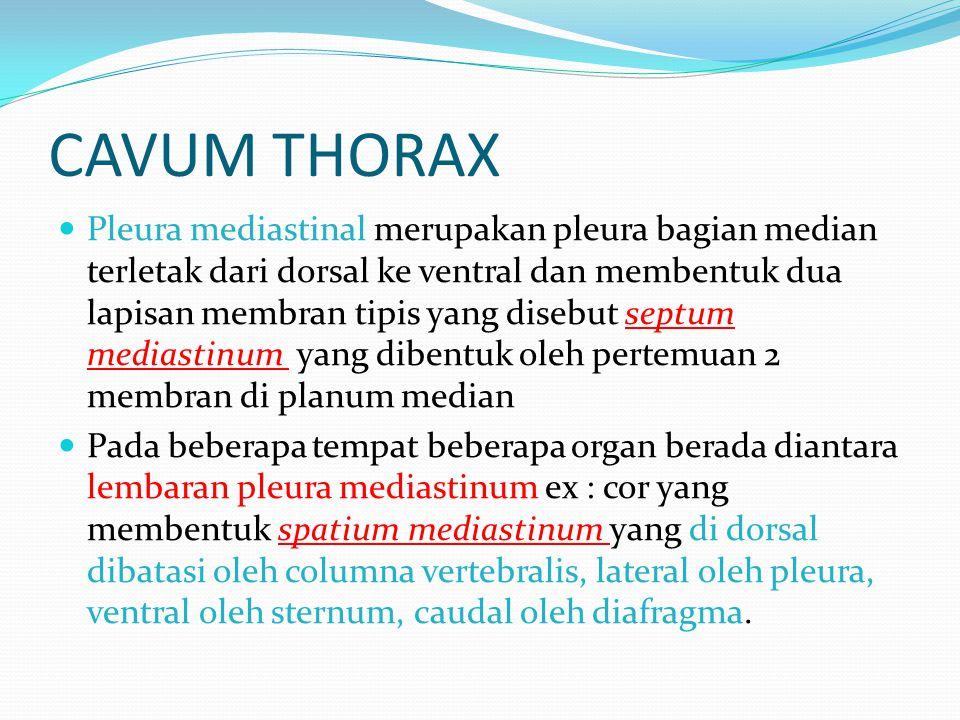 CAVUM THORAX  Pleura mediastinal merupakan pleura bagian median terletak dari dorsal ke ventral dan membentuk dua lapisan membran tipis yang disebut