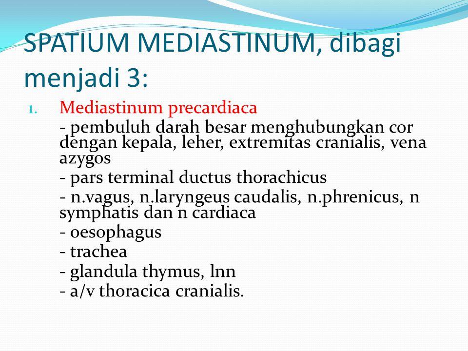 SPATIUM MEDIASTINUM, dibagi menjadi 3: 1. Mediastinum precardiaca - pembuluh darah besar menghubungkan cor dengan kepala, leher, extremitas cranialis,