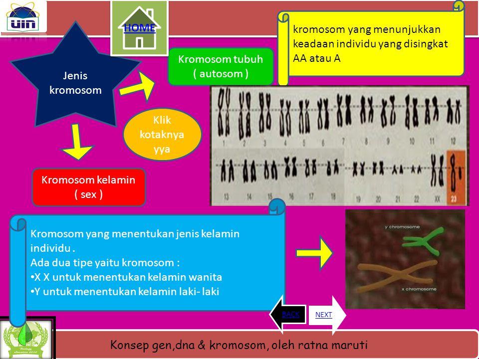 Konsep gen,dna & kromosom, oleh ratna maruti SUSUNAN KIMIA PENYUSUN KROMOSOM Nukleoprotein Asam nukleat pada kromosom yang pertama adalah DNA meskipun