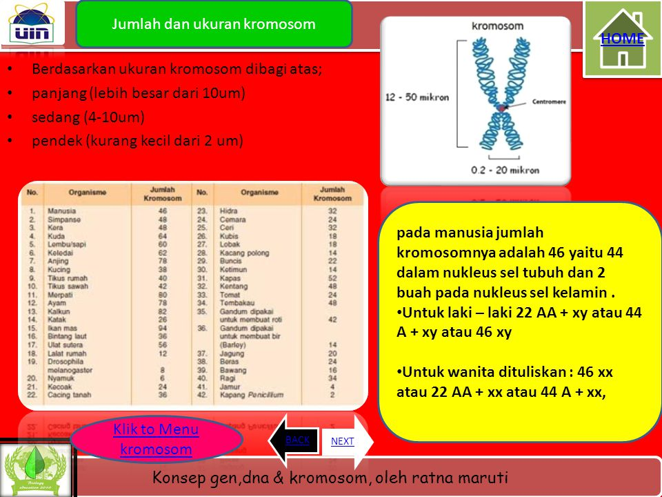Konsep gen,dna & kromosom, oleh ratna maruti Lanjutan jenis kromosom Berdasarkan letak sentromer pada lengan kromosom dibagi atas; • Telosentrik : sen