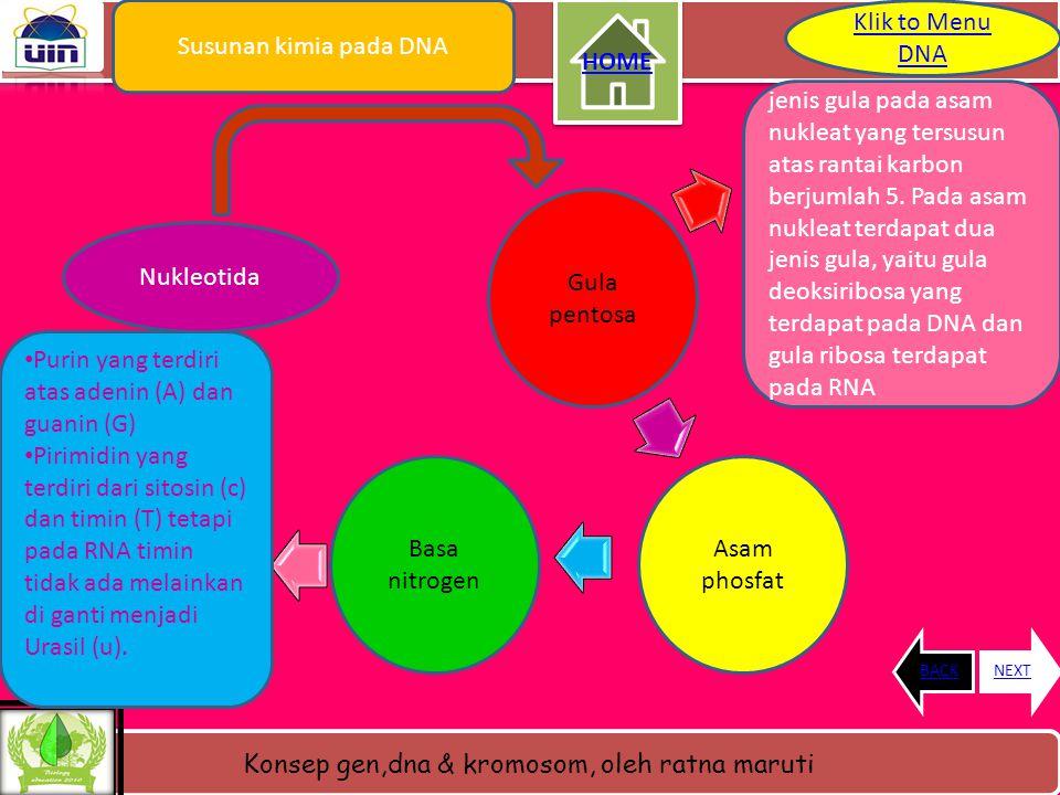 Konsep gen,dna & kromosom, oleh ratna maruti Morfologi DNA • Molekul DNA dari sel- sel dengan nukleus sejati mempunyai bentuk sebagai benang lurus dan