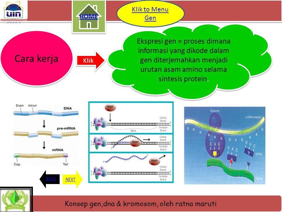 Konsep gen,dna & kromosom, oleh ratna maruti Letak gen Gen- gen terdapat dalam DNA yang berderet pada lengan- lengan kromosom. Tempat kedudukan gen ki
