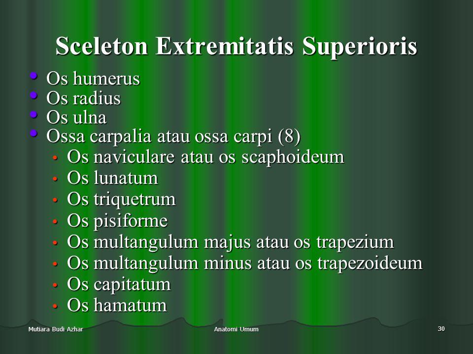 Anatomi Umum 30 Mutiara Budi Azhar Sceleton Extremitatis Superioris • Os humerus • Os radius • Os ulna • Ossa carpalia atau ossa carpi (8) • Os navicu