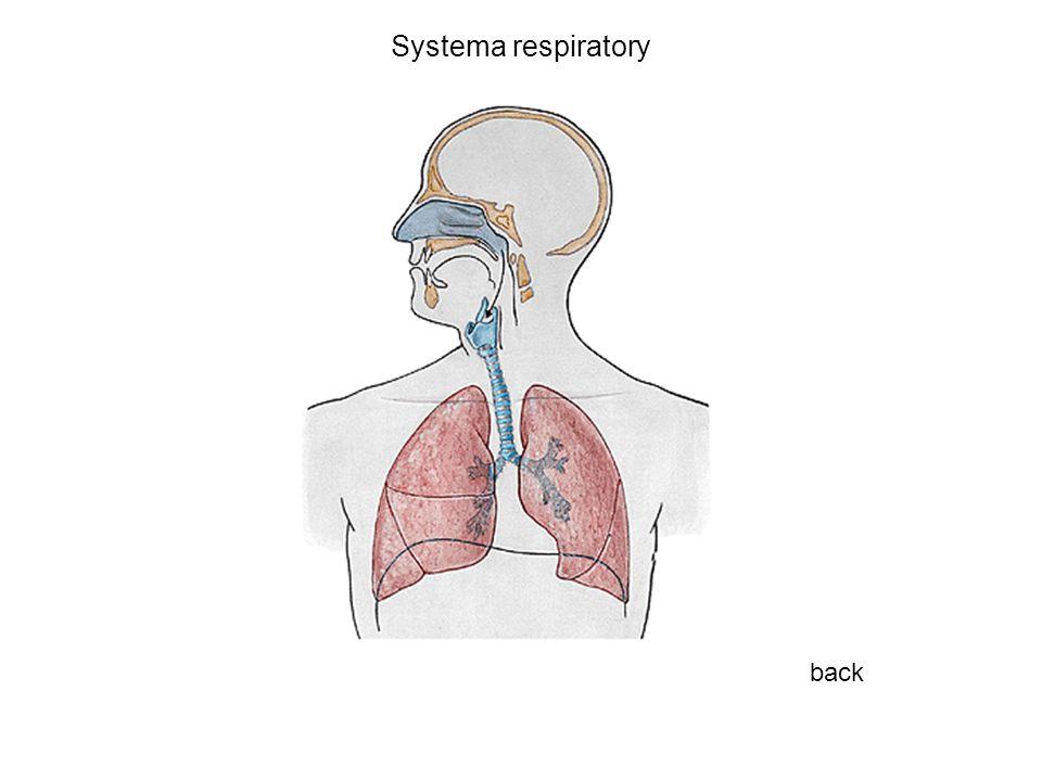 Systema respiratory back