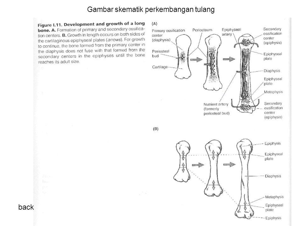 Gambar skematik perkembangan tulang back