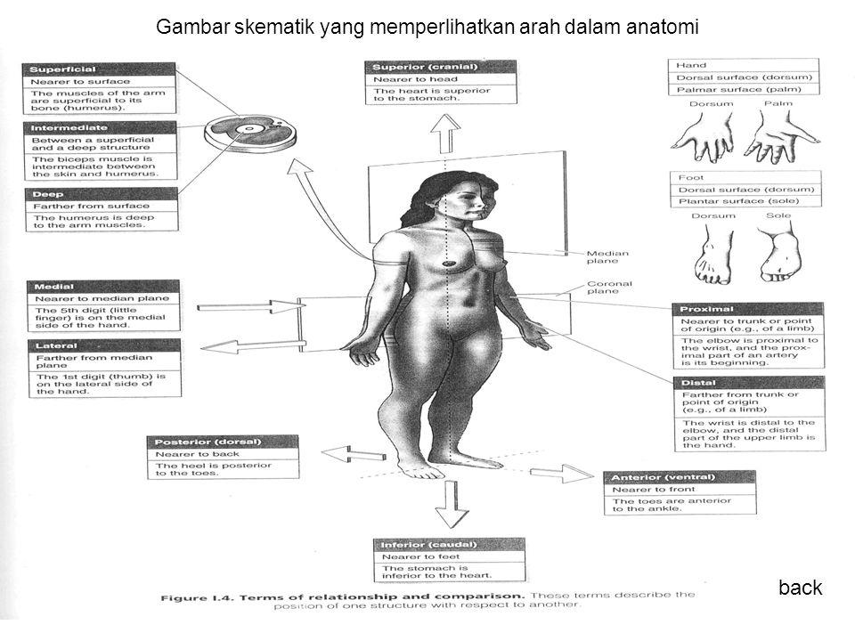 Gambar skematik yang memperlihatkan arah dalam anatomi back