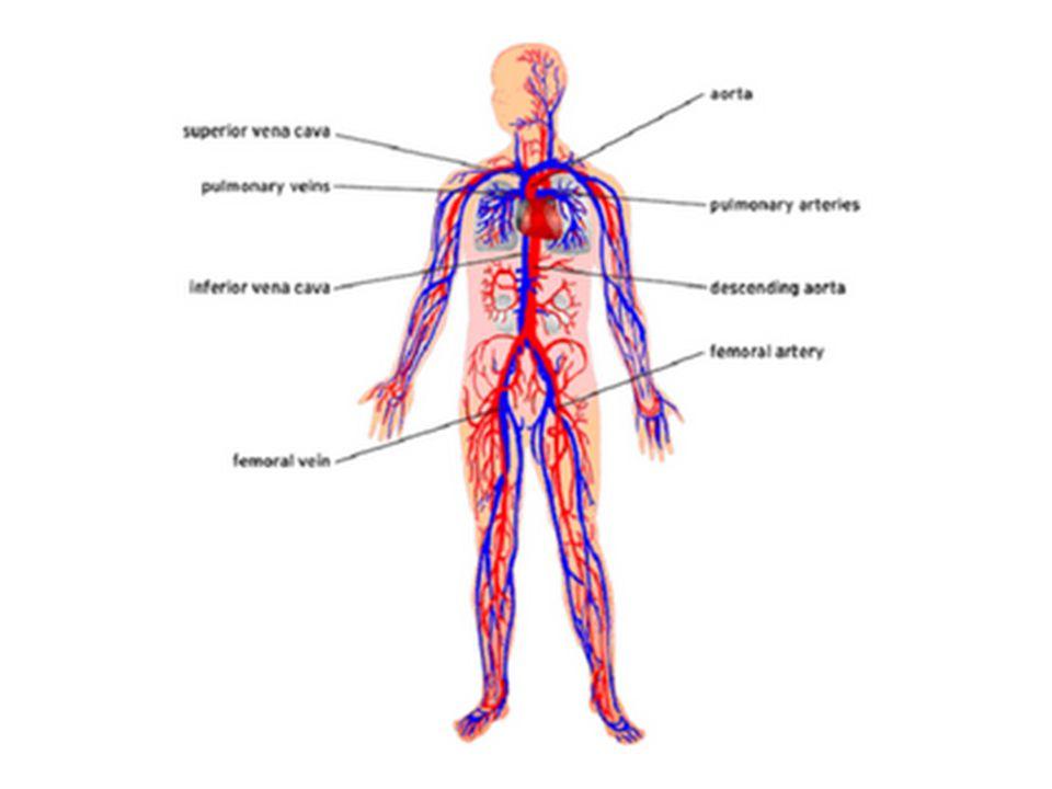 • Arteri ini kemudian bercabang kecil mengitari dan mengantarkan darah keseluruh bagian jantung.