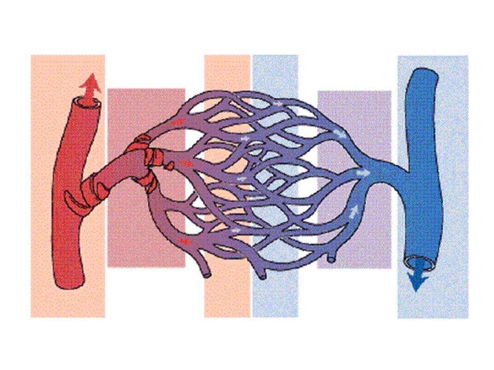 Susunan jantung dan aliran darah dalam jantug Jantung merupakan organ utama sirkulasi darah • Berupa otot • Berbentuk kerucut • Berongga • Dasarnya terletak diatas, puncaknya dibawah • Terletak di dada • Diantara paru-paru • Lebih menghadap ke kiri • Ukuran kira2 sebesar kepalan tangan • Beratnya 220 – 260 gram