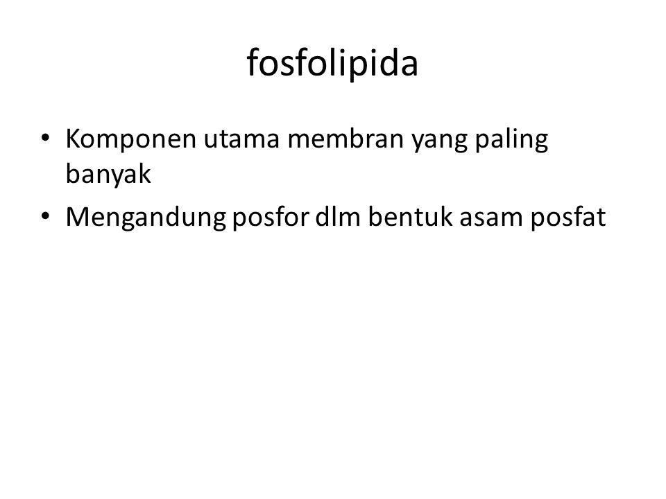 fosfolipida • Komponen utama membran yang paling banyak • Mengandung posfor dlm bentuk asam posfat
