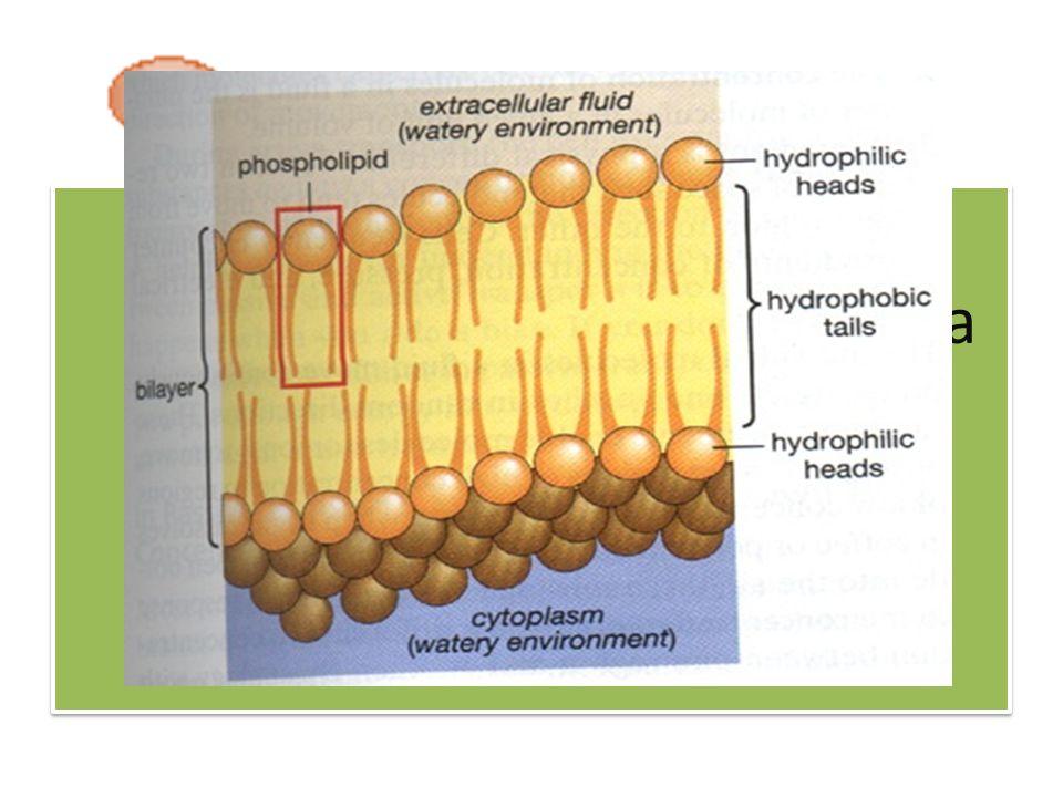 • Terdapat lipida polar yang merupakan komponen utama membran sel yaitu tempat terjadinya reaksi-reaksi metabolik