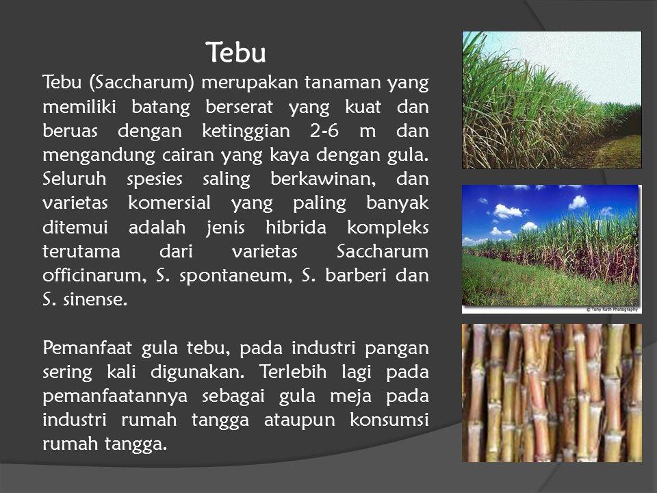 Tebu Tebu (Saccharum) merupakan tanaman yang memiliki batang berserat yang kuat dan beruas dengan ketinggian 2-6 m dan mengandung cairan yang kaya den