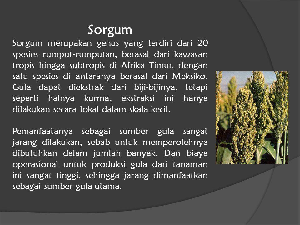 Sorgum Sorgum merupakan genus yang terdiri dari 20 spesies rumput-rumputan, berasal dari kawasan tropis hingga subtropis di Afrika Timur, dengan satu