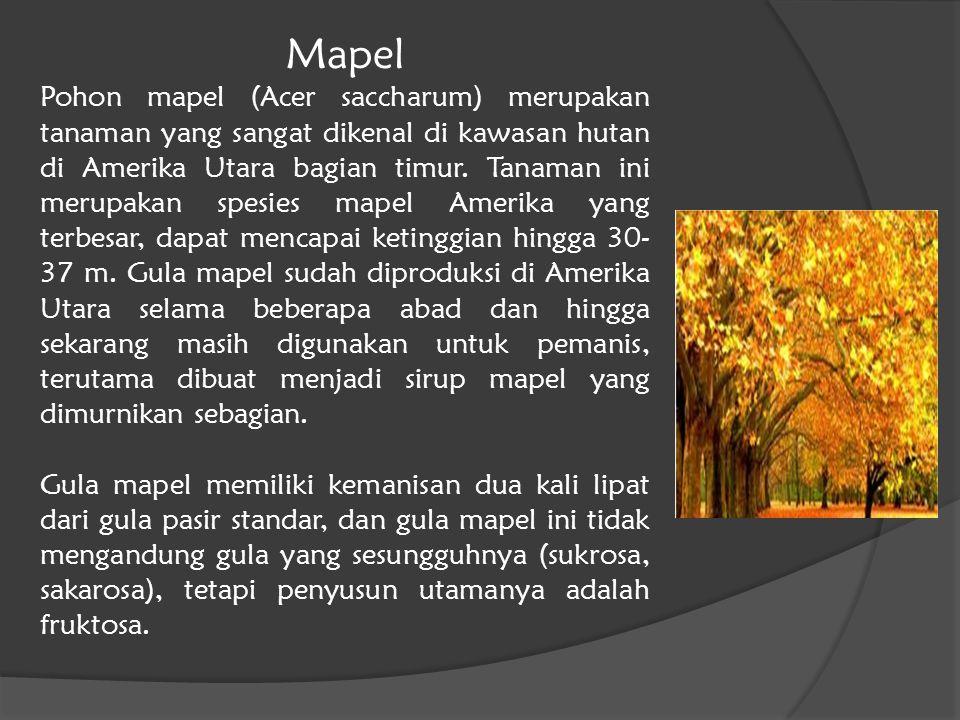 Mapel Pohon mapel (Acer saccharum) merupakan tanaman yang sangat dikenal di kawasan hutan di Amerika Utara bagian timur. Tanaman ini merupakan spesies