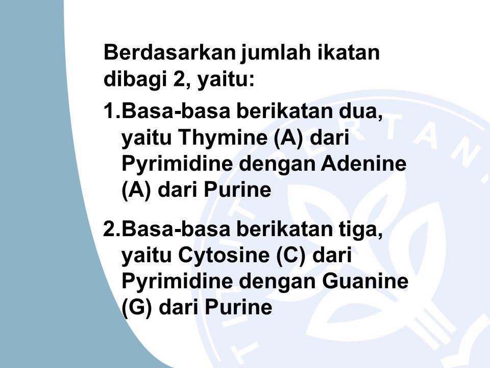 Berdasarkan jumlah ikatan dibagi 2, yaitu: 1.Basa-basa berikatan dua, yaitu Thymine (A) dari Pyrimidine dengan Adenine (A) dari Purine 2.Basa-basa berikatan tiga, yaitu Cytosine (C) dari Pyrimidine dengan Guanine (G) dari Purine