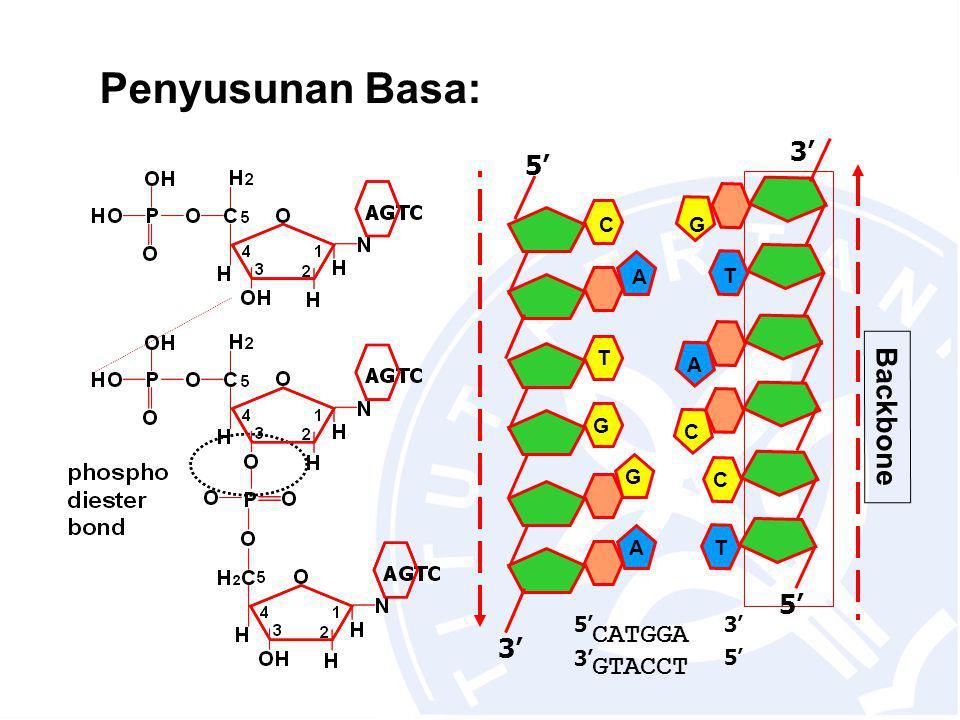 Penyusunan Basa: A T T A C 3' 5' T G G A 3' 5' Backbone C C G CATGGA GTACCT 5'3' 5'