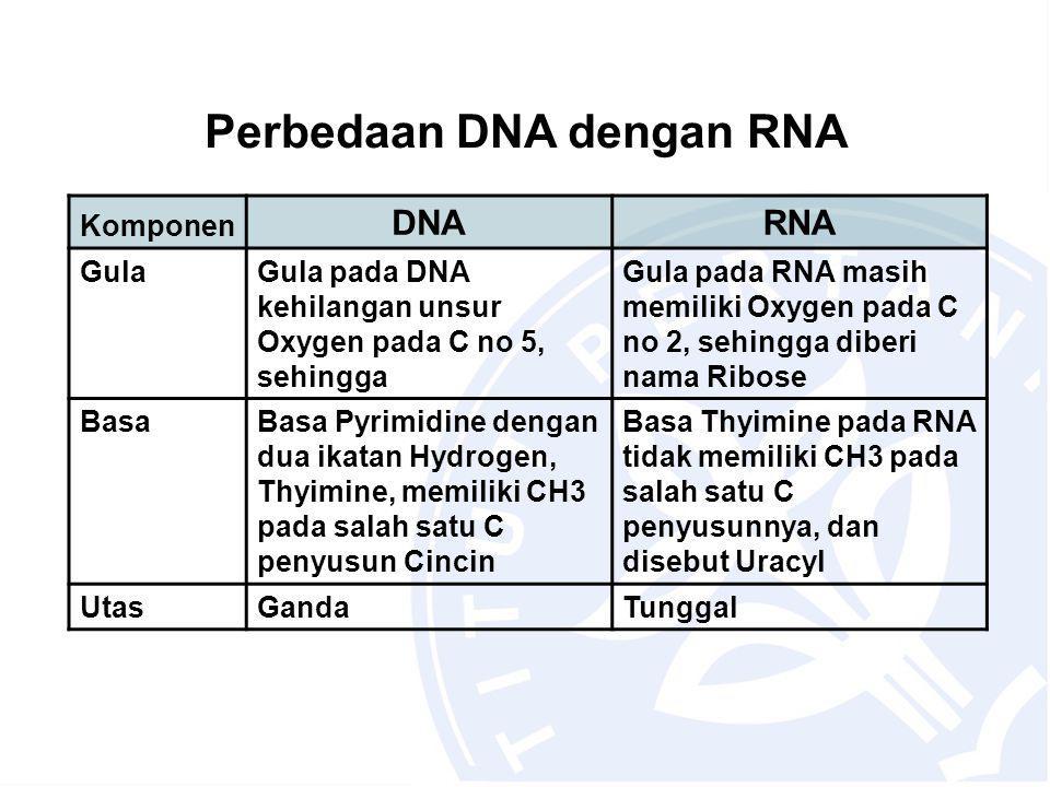 Perbedaan DNA dengan RNA Komponen DNARNA GulaGula pada DNA kehilangan unsur Oxygen pada C no 5, sehingga Gula pada RNA masih memiliki Oxygen pada C no 2, sehingga diberi nama Ribose BasaBasa Pyrimidine dengan dua ikatan Hydrogen, Thyimine, memiliki CH3 pada salah satu C penyusun Cincin Basa Thyimine pada RNA tidak memiliki CH3 pada salah satu C penyusunnya, dan disebut Uracyl UtasGandaTunggal