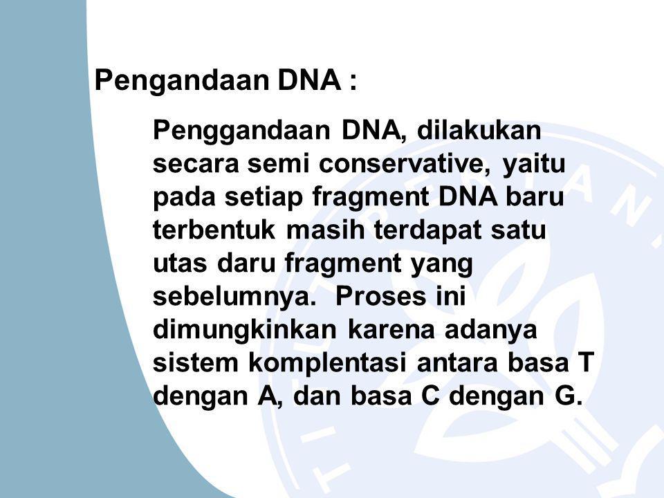 Pengandaan DNA : Penggandaan DNA, dilakukan secara semi conservative, yaitu pada setiap fragment DNA baru terbentuk masih terdapat satu utas daru fragment yang sebelumnya.