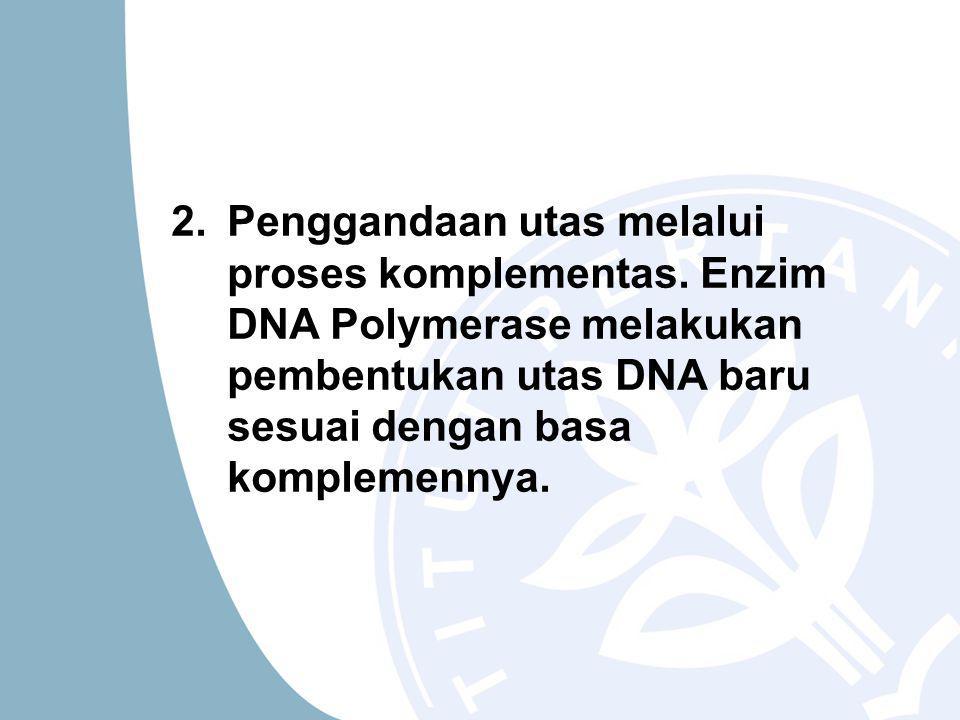 2.Penggandaan utas melalui proses komplementas.