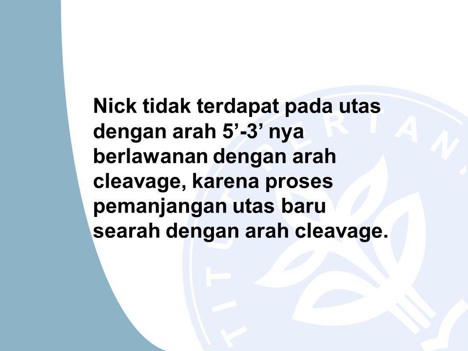 Nick tidak terdapat pada utas dengan arah 5'-3' nya berlawanan dengan arah cleavage, karena proses pemanjangan utas baru searah dengan arah cleavage.