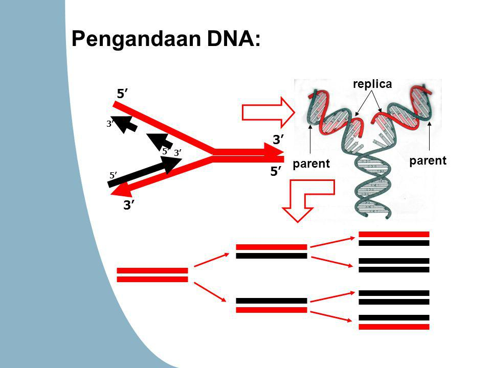 parent replica 3' 5' 3' 5' 3' 5' 3' Pengandaan DNA: