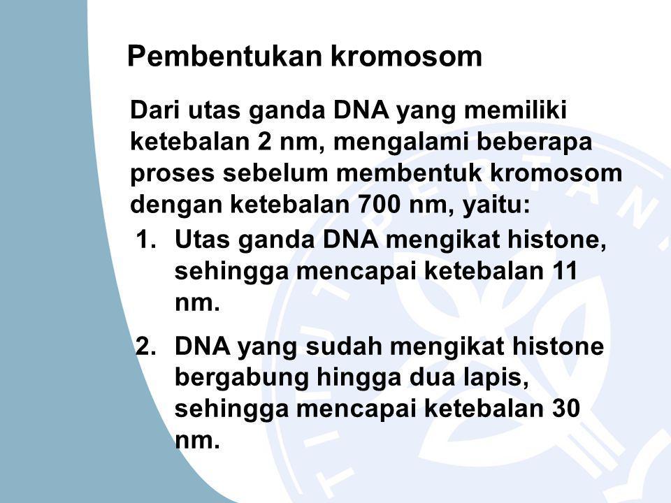 Pembentukan kromosom Dari utas ganda DNA yang memiliki ketebalan 2 nm, mengalami beberapa proses sebelum membentuk kromosom dengan ketebalan 700 nm, yaitu: 1.Utas ganda DNA mengikat histone, sehingga mencapai ketebalan 11 nm.