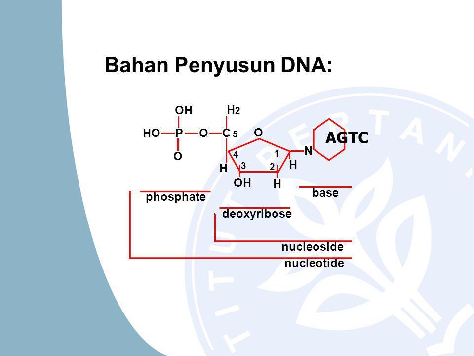 phosphate deoxyribose nucleoside nucleotide O O HOOC OH H H N H2H2 P 1 2 5 4 3 base AGTC H Bahan Penyusun DNA: