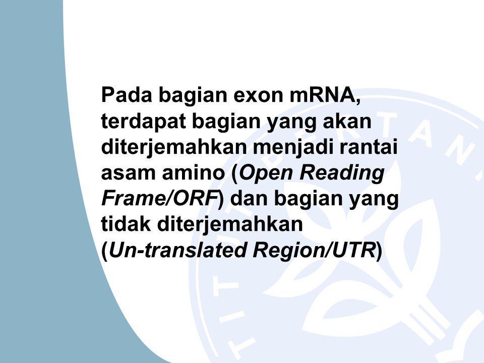 Pada bagian exon mRNA, terdapat bagian yang akan diterjemahkan menjadi rantai asam amino (Open Reading Frame/ORF) dan bagian yang tidak diterjemahkan (Un-translated Region/UTR)