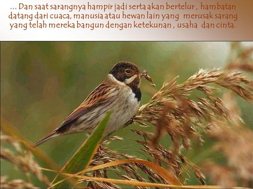 Burung selalu terbang, mengumpulkan ranting untuk sarang, kadang diambil dari jarak yang cukup jauh