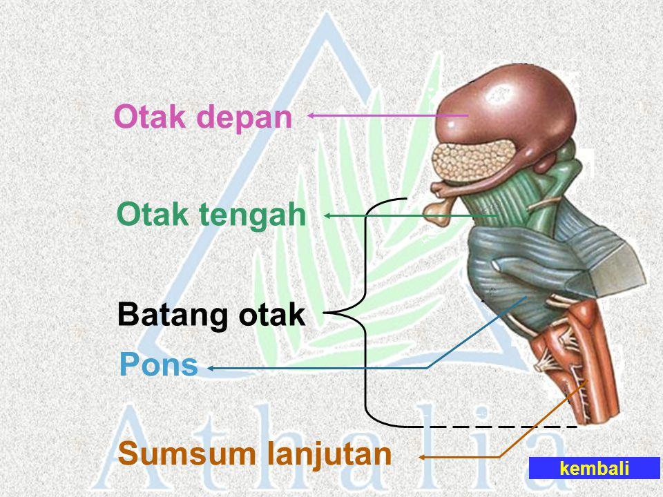 Batang otak Otak depan Otak tengah Pons Sumsum lanjutan kembali