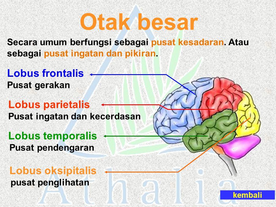 Otak besar Secara umum berfungsi sebagai pusat kesadaran. Atau sebagai pusat ingatan dan pikiran. kembali Lobus frontalis Pusat gerakan Pusat ingatan