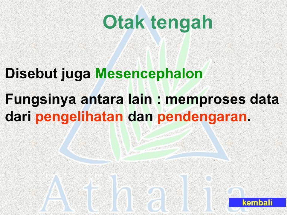 kembali Disebut juga Mesencephalon Fungsinya antara lain : memproses data dari pengelihatan dan pendengaran. Otak tengah