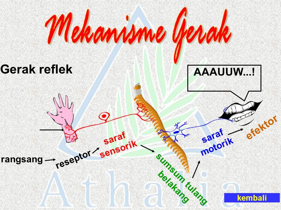 Gerak reflek rangsang reseptor saraf sensorik sumsum tulang belakang saraf motorik efektor kembali AAAUUW...!