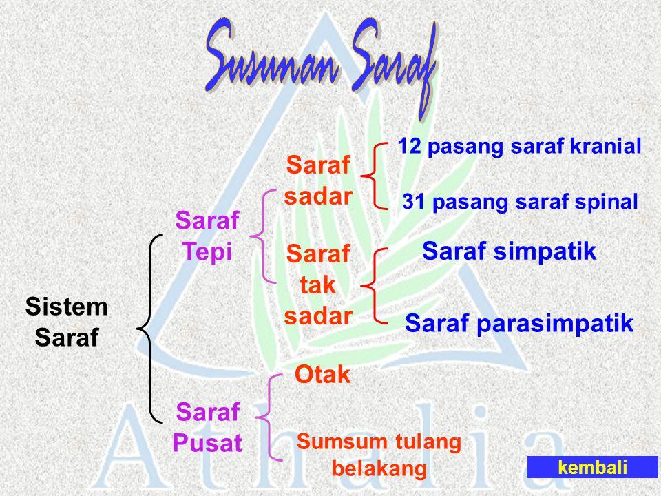Sistem Saraf Saraf Pusat Sumsum tulang belakang Otak Saraf Tepi Saraf sadar Saraf tak sadar 31 pasang saraf spinal 12 pasang saraf kranial Saraf simpa