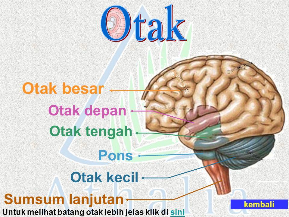 Otak besar Otak depan Otak tengah Pons Otak kecil Sumsum lanjutan Untuk melihat batang otak lebih jelas klik di sinisini