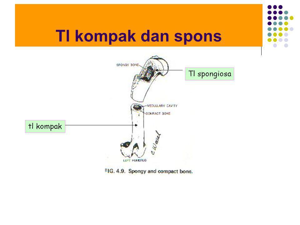 Tl kompak dan spons tl kompak Tl spongiosa