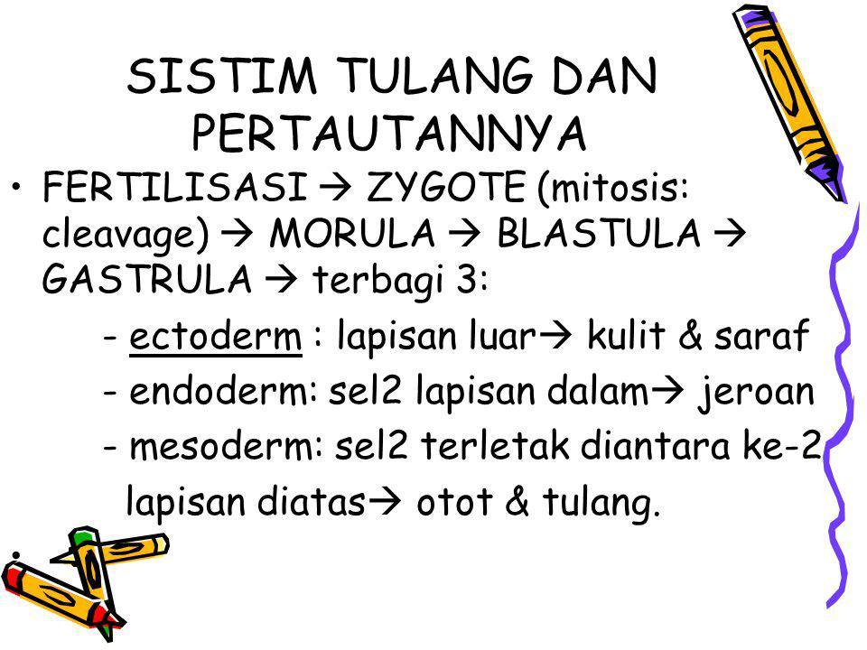 KELENGKAPAN TULANG •Periosteum / endosteum: mempunyai kemamp membuat lap tl baru •Tl.