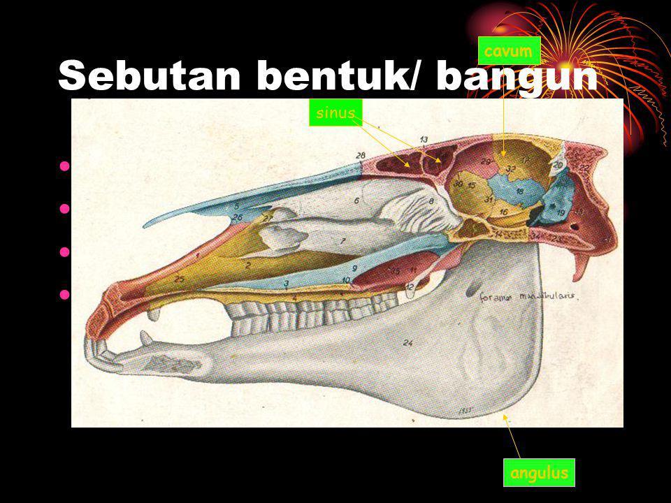 Sebutan bentuk/ bangun •Sinus •Processus •Fissura •incissura sinus angulus cavum